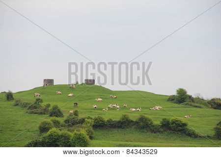 Milk Cows On Pasture