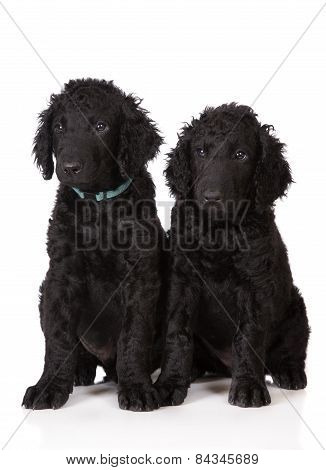 two curly black coated retriever puppies