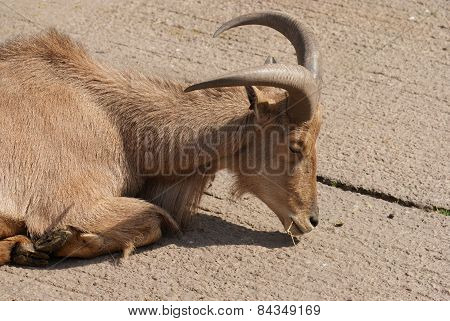 Barbary Sheep - Ammotragus Lervia