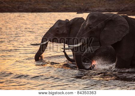 Elephants quenching their thirst in the Chobe River