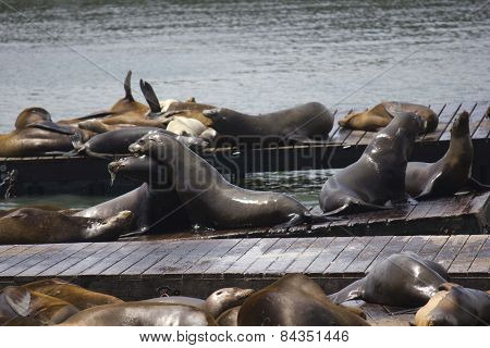 Two Sea Lions Embracing