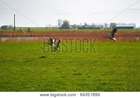 Migration of geese flying over a meadow