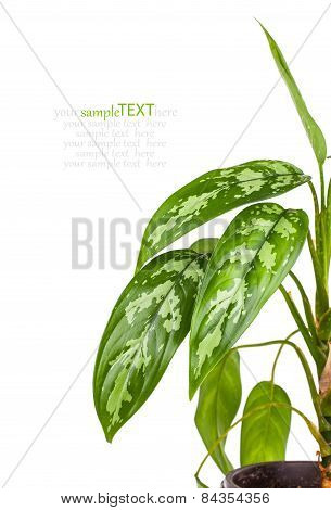 Dieffenbachia In Flowerpot Isolated On White Background
