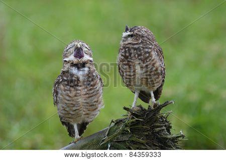Yawning Owls