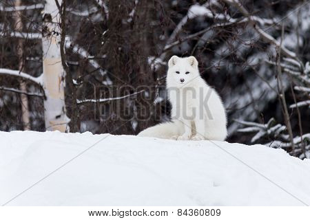 Arctic Fox in a winter scene