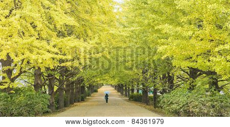 The Street Nearby Meiji Jingu Gaien That Has Beautiful Ginkgo Along The Lenght Of The Street