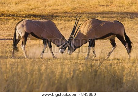 Gemsbok Fighting1