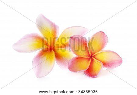 Flowers Frangipani (plumeria) Isolated On White