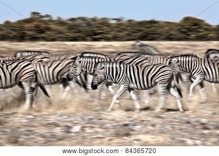 Slow motion shot capturing movement of some walking Zebra's