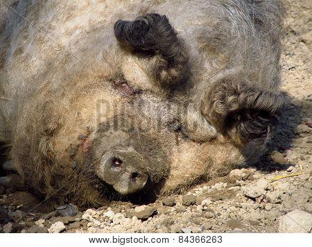funny fat pig