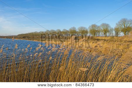 Reed along the shore of a lake in winter