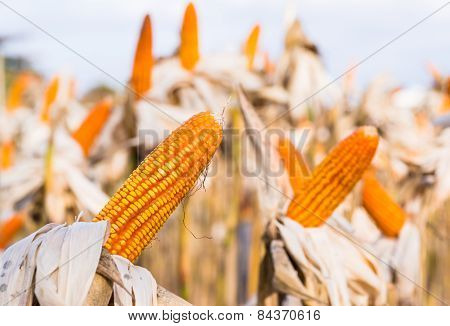 Dried Corn In A Corn Field