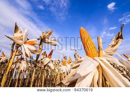 Dried Corn In A Corn Field