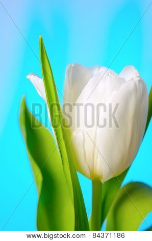 White-yellow tulips.