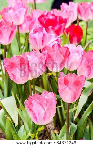 Many Pink Tulips Flower