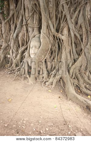 Banyan Roots Covering The Buddha Head.