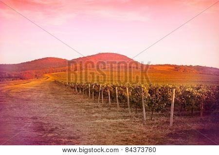 Vineyard - fertile vineyards