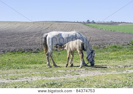 Foal Suckling His Mother Grazing