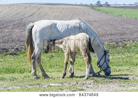 Foal With His Mother Grazing