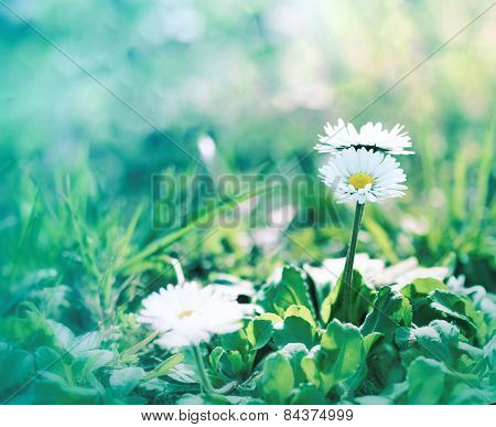 Little daisy flower in grass