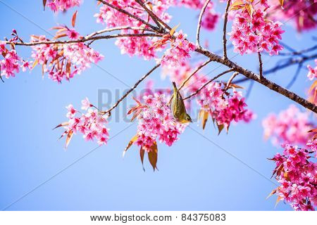 White-eye Bird On Cherry Blossom And Sakura