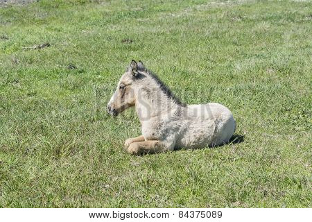 Free Colt Lying In The Countryside