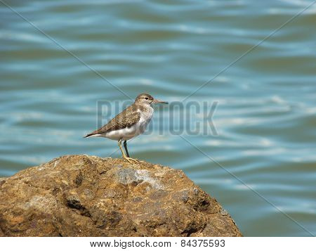 A sandpiper standing on a rock