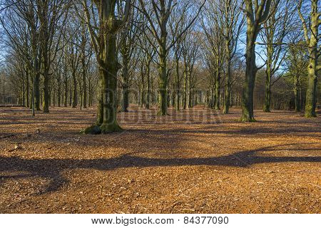 Shadows in a beech forest in winter