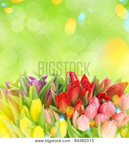 Tulips Over Blurred Green Background. Fresh Spring Flowers. Light Leaks