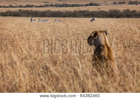 A lioness looks at a possible lunch