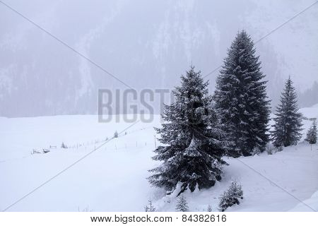 Snowstorm Over Mountains And Spruce Trees In Winter, Alps, Switzerland