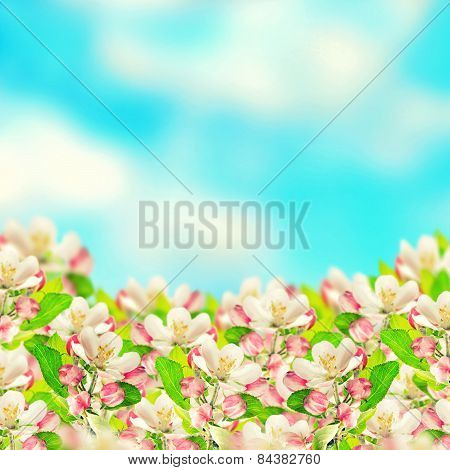 Apple Blossoms Over Blurred Blue Sky Background. Spring Flowers