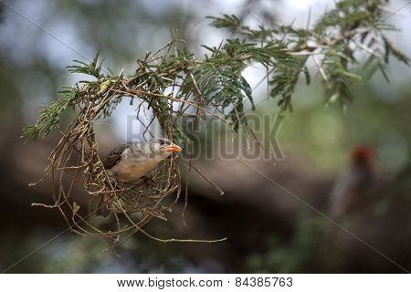 A weaver bird inspects a nest in Kenya.