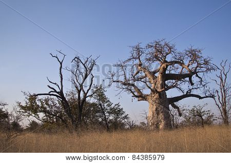A large baobab tree in Botswana