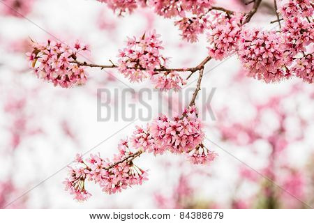 Beautiful pink cherry blossom or sakura flower branch on tree.