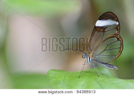 Clear wing (greta oto)