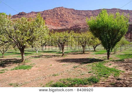Fruit Orchard at Lees Ferry Lonely Dell Ranch