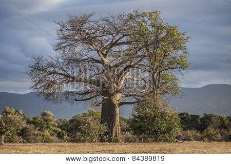 A large baobab tree