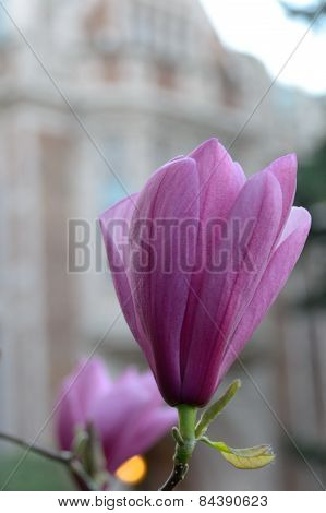 Half Developed Flower Of Pink Iolanthe Magnolia In Front Of A Campus Building