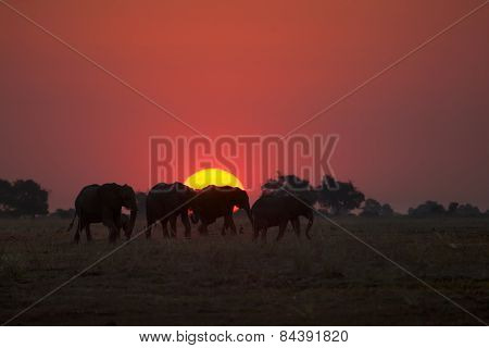 Elephants walking through the sun set