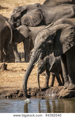 A young mother Elephant looks after her young