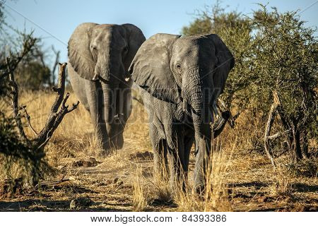 Two elephants coming down a path to drink