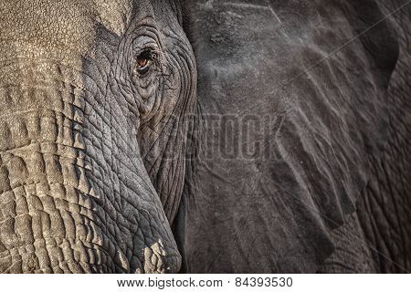 A close up of an elephants face in Botswana