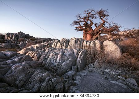 A large baobab tree on Kubu Ialsnd in Botswana