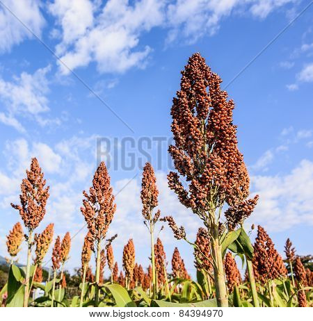 Sorghum Field On Blue Sky Background