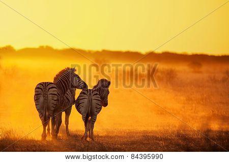 Zebra's walking into the sunset in Botswana