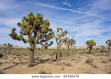 Stand Of Joshua Trees