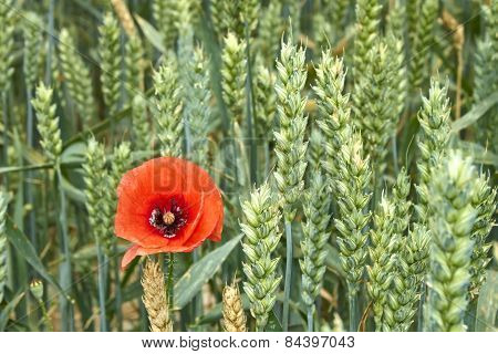 Red Poppy Among Maturing Wheat