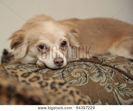 Papillon Dog On Pillows