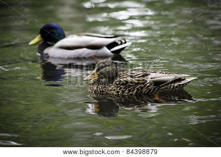 Mallard Duck Femail 0555